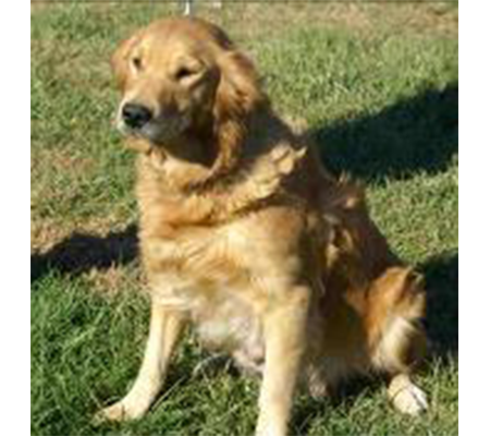 Holly CamCons Golden Retriever