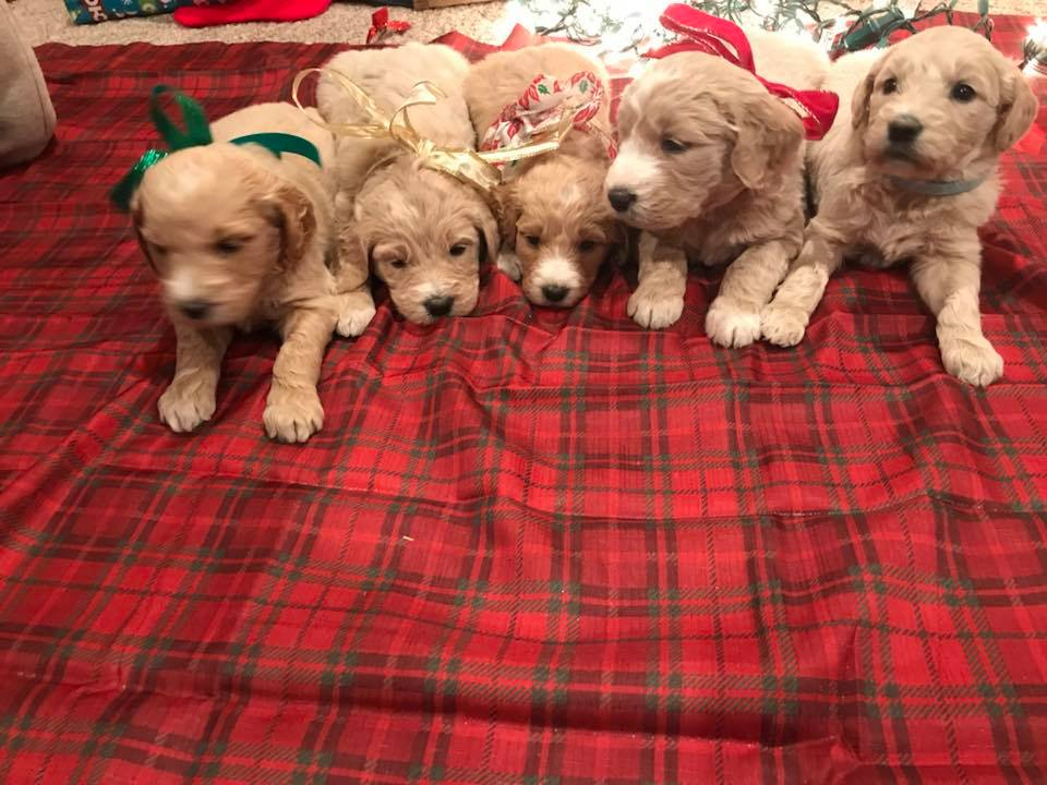 Goldendoodle Puppies | CamCon's Golden Acres in Okawville, Illinois