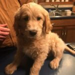 Golden Doodle Puppies | CamCon's Golden Acres in Okawville, Illinois
