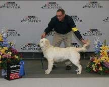 Queen - CamCons Golden Retrievers in Okawville, Illinois
